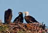 Look how big we are getting.  I estimate the Eaglets are 10 weeks old.