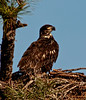 Not to bad looking for a 10 week old Eaglet