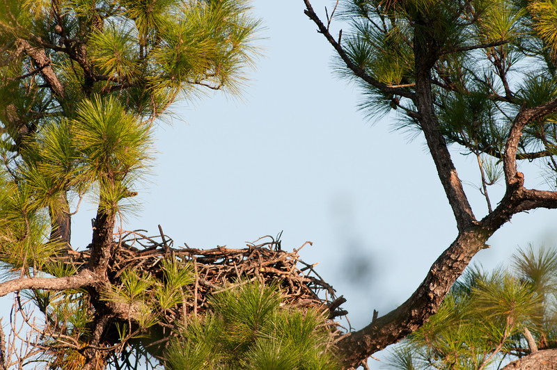 This Bald Eagle Nest  has been in the same tree for over 20 years.