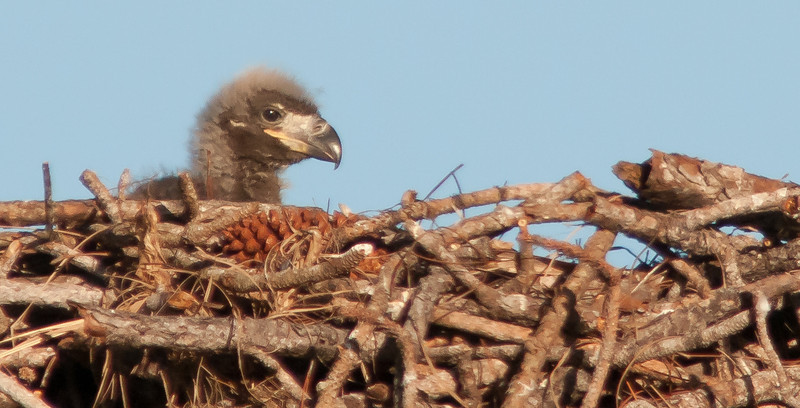 Isn't this Eaglet a cute one?