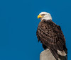 Portrait of the adult Eagle on a power pole close to the nest.