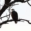 IMG_4533Young Eagle