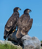 A pair of immature Bald Eagles.  Kennebec River, near Bath, Maine.  7593