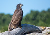 Immature Bald Eagle.  Kennebec River, near Bath, Maine.  7610