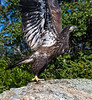 Immature Bald Eagle.  Kennebec River, near Bath, Maine.  7647