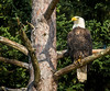 Mature Bald Eagle.  Sheepscot River near Wiscasset, Maine. 6387