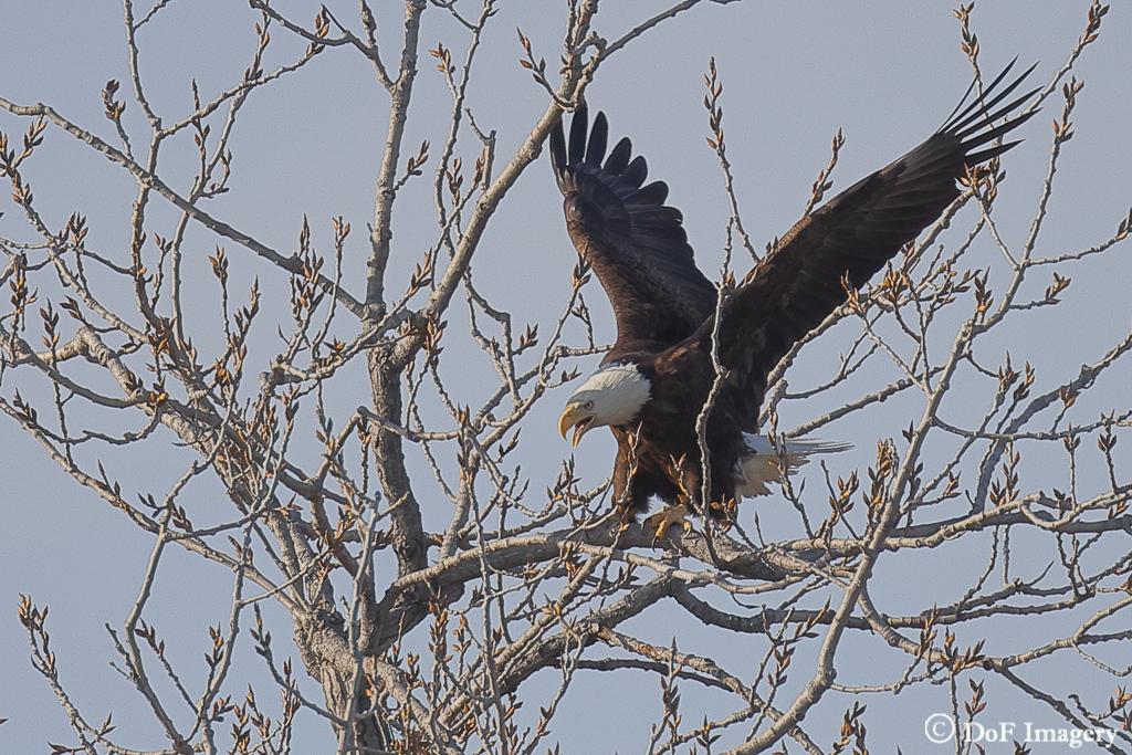 IMAGE: https://photos.smugmug.com/Nature/Eagle/i-4bWmJKQ/0/df936c3f/XL/6C0A1228-XL.jpg