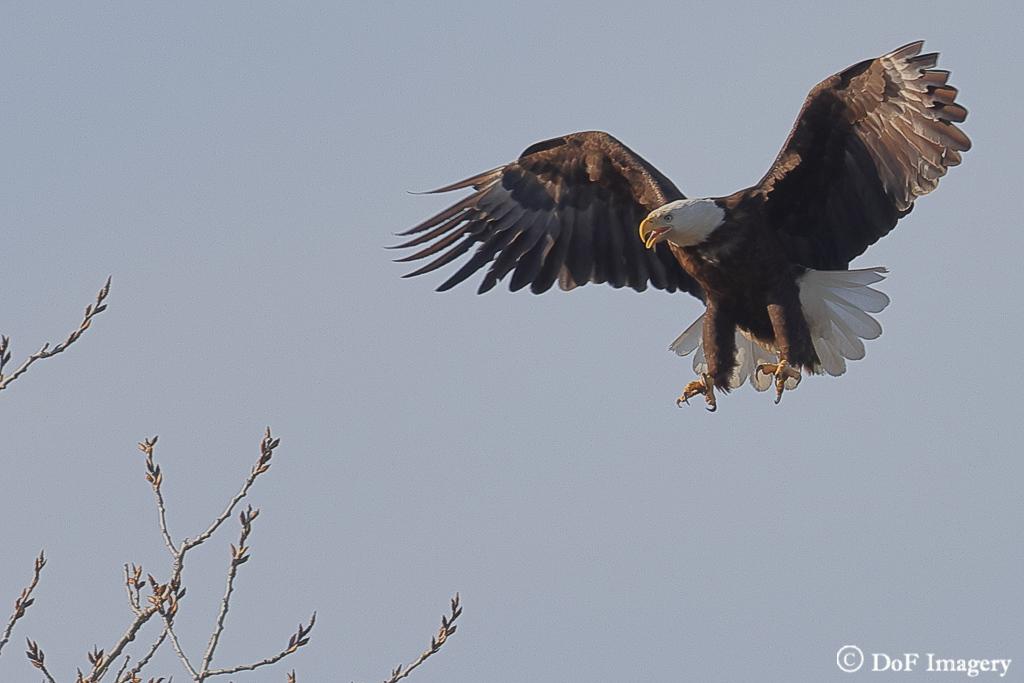 IMAGE: https://photos.smugmug.com/Nature/Eagle/i-87zbPvT/0/606b3a61/XL/6C0A1200-XL.jpg