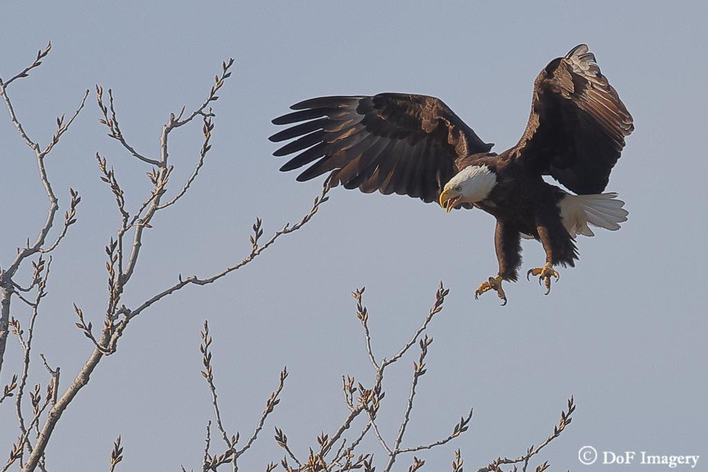 IMAGE: https://photos.smugmug.com/Nature/Eagle/i-VJdxtCh/0/903a56b8/XL/6C0A1211-XL.jpg