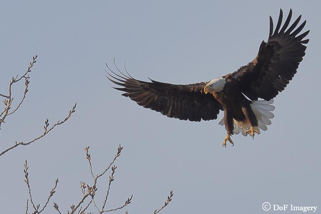 IMAGE: https://photos.smugmug.com/Nature/Eagle/i-mBnKDfF/0/05b5b110/XL/6C0A1202-XL.jpg