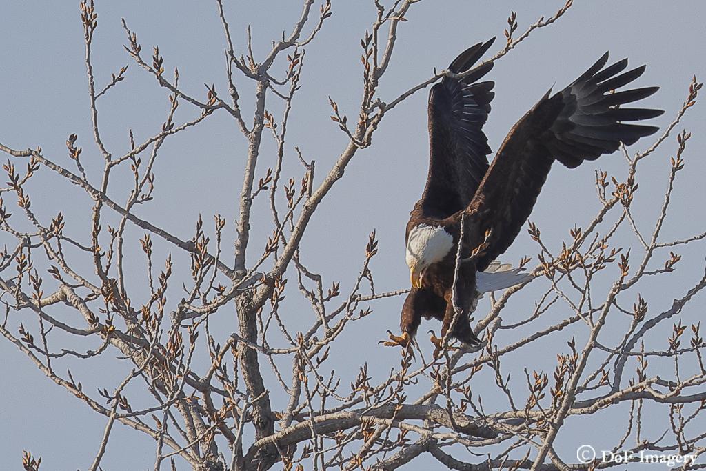 IMAGE: https://photos.smugmug.com/Nature/Eagle/i-nPv4hdv/0/89dada91/XL/6C0A1225-XL.jpg