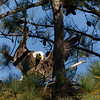 Eagle landing at nest with nesting materials