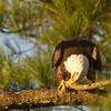 Eagle cleaning beak