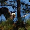 Eagle landing on nest at Guntersville Dam