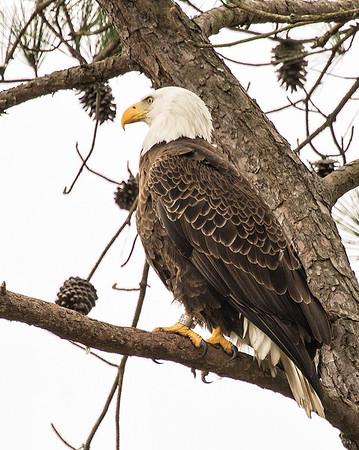Eagles 2012-2015 at Guntersville Dam