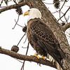 Male eagle getting ready to leave the nest and go fishing 4 Dec 2012