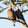 Both eagles were at the nest for a few minutes around 4 pm 1 Feb 2013