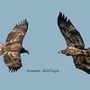 Composite photo of the same eagle