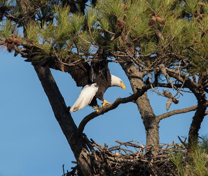 Landing at the nest