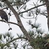 male eagle
