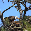 Feeding eaglets 23 March 2014