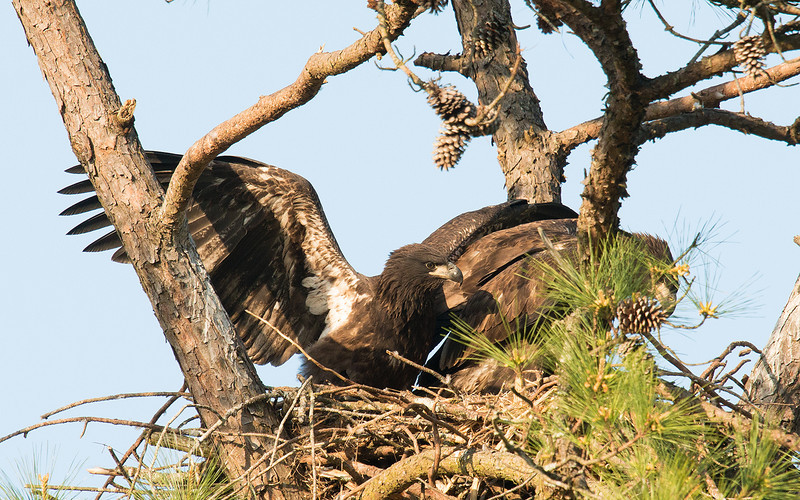 Winner pushing the other eaglet around