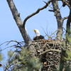 Feeding the two Eaglets 9 Mar 2014