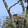Feeding the two Eaglets 9 Mar 2014