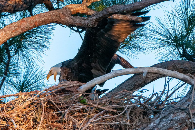 Cape Coral Eagles Gracie and George II... ok, not quite ... almost...
