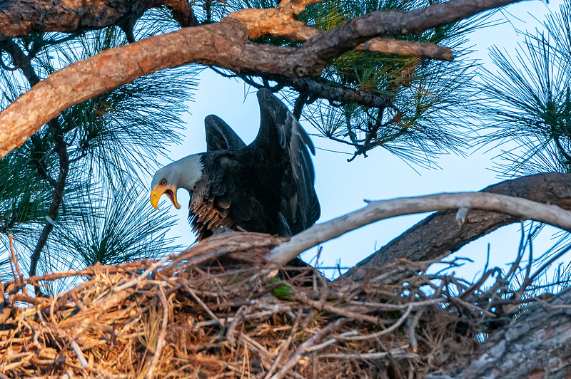 Cape Coral Eagles Gracie and George II, and more...