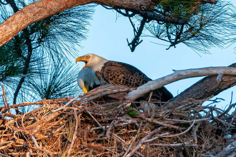 Cape Coral Eagles Gracie and George II, in the animal world, George shouts his desire.