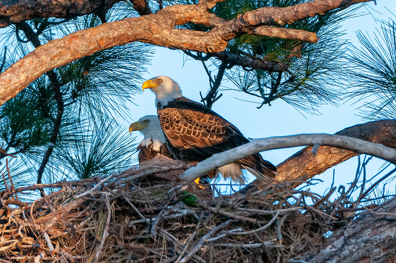 """Cape Coral Eagles Gracie and George II, pauses briefly.  If these were humans, the discussion would be """"why didn't you bring home the fish?""""   But..."""