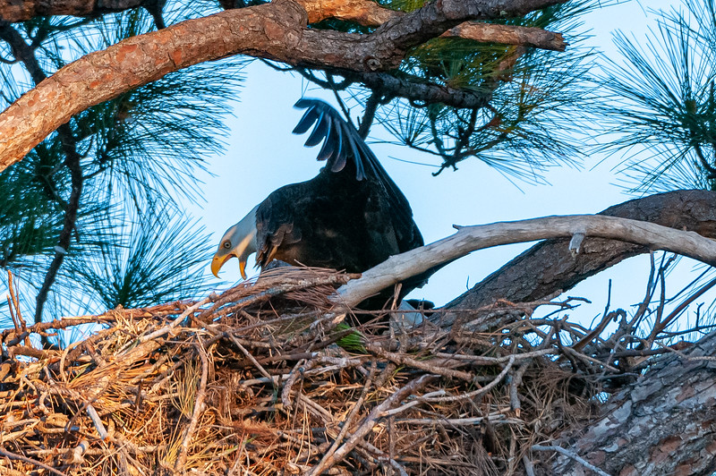 Cape Coral Eagles Gracie and George II, still keeping balance as...