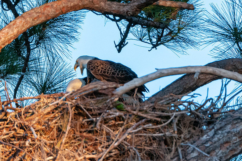 Cape Coral Eagles Gracie and George II, bows a bit further