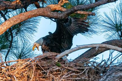 Eagles - Cape Coral - George II and Gracie Mate