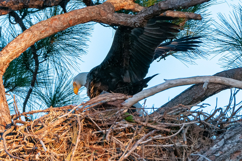 Cape Coral Eagles Gracie and George II, and keeping balance ....