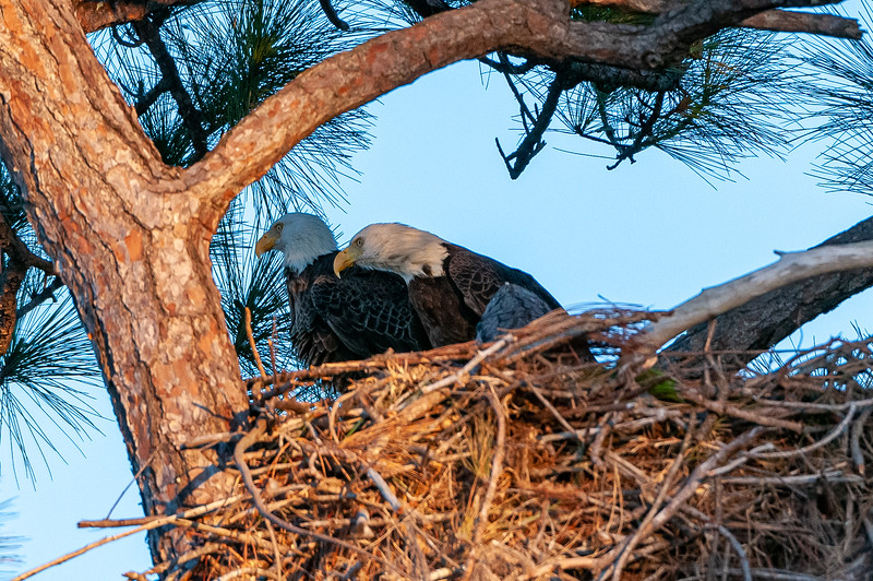 """Cape Coral Eagles Gracie and George II, Gracie looks up with a """"is that it?"""" expression.  Time now 5:53:10pm, elapsed time 34 seconds."""