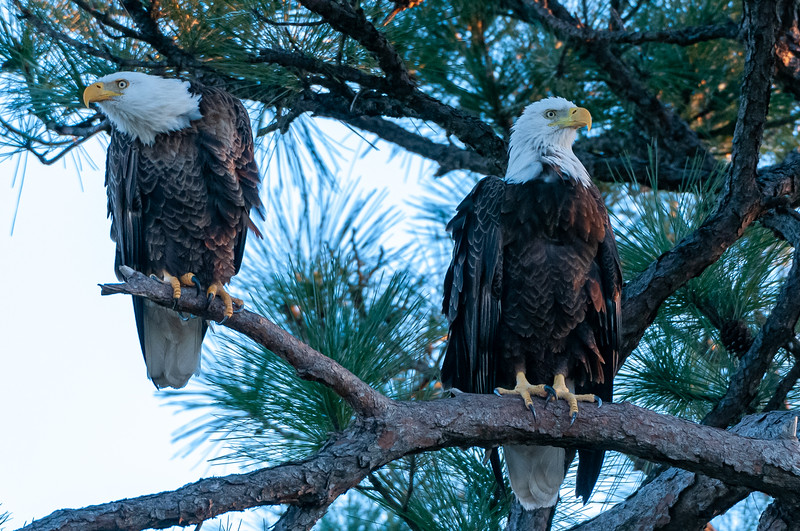 Cape Coral Eagles Gracie and George II, a couple minutes later from a different angle, Gracie looks a bit fluffed (Gracie on the right)