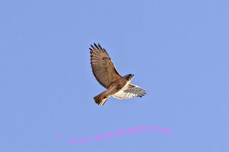 Red Tail hawk in flight.