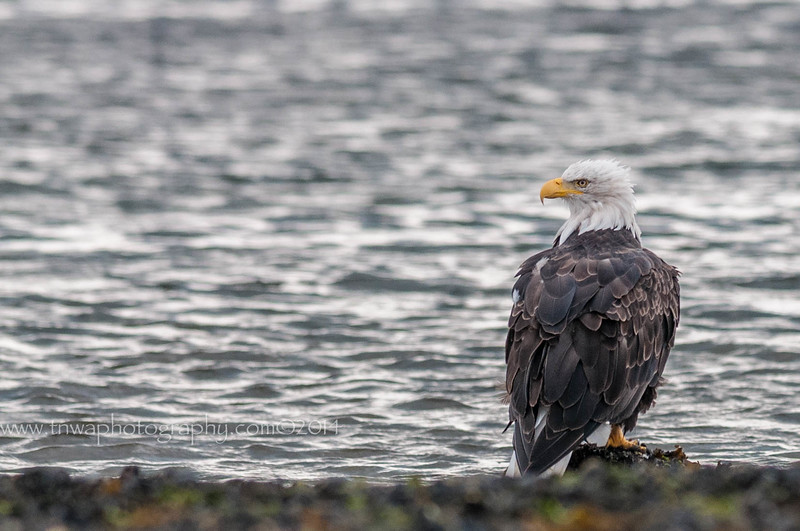 A Bald Eagle's Reflections Homer Spit Homer, AK © 2014