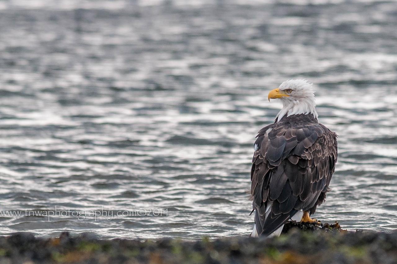 A Bald Eagle's Reflections Homer Spit Homer, AK © 2014