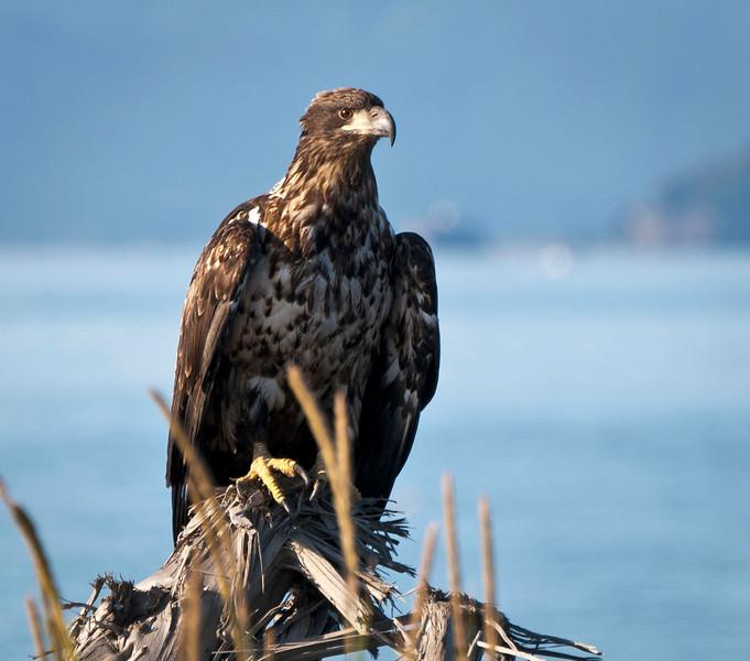 Juvenile Bald Eagle Homer Spit Homer, Alaska © 2010