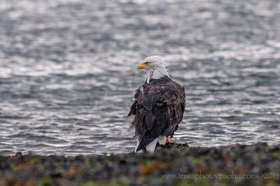 Bald Eagle Homer Spit Homer, Alaska © 2014