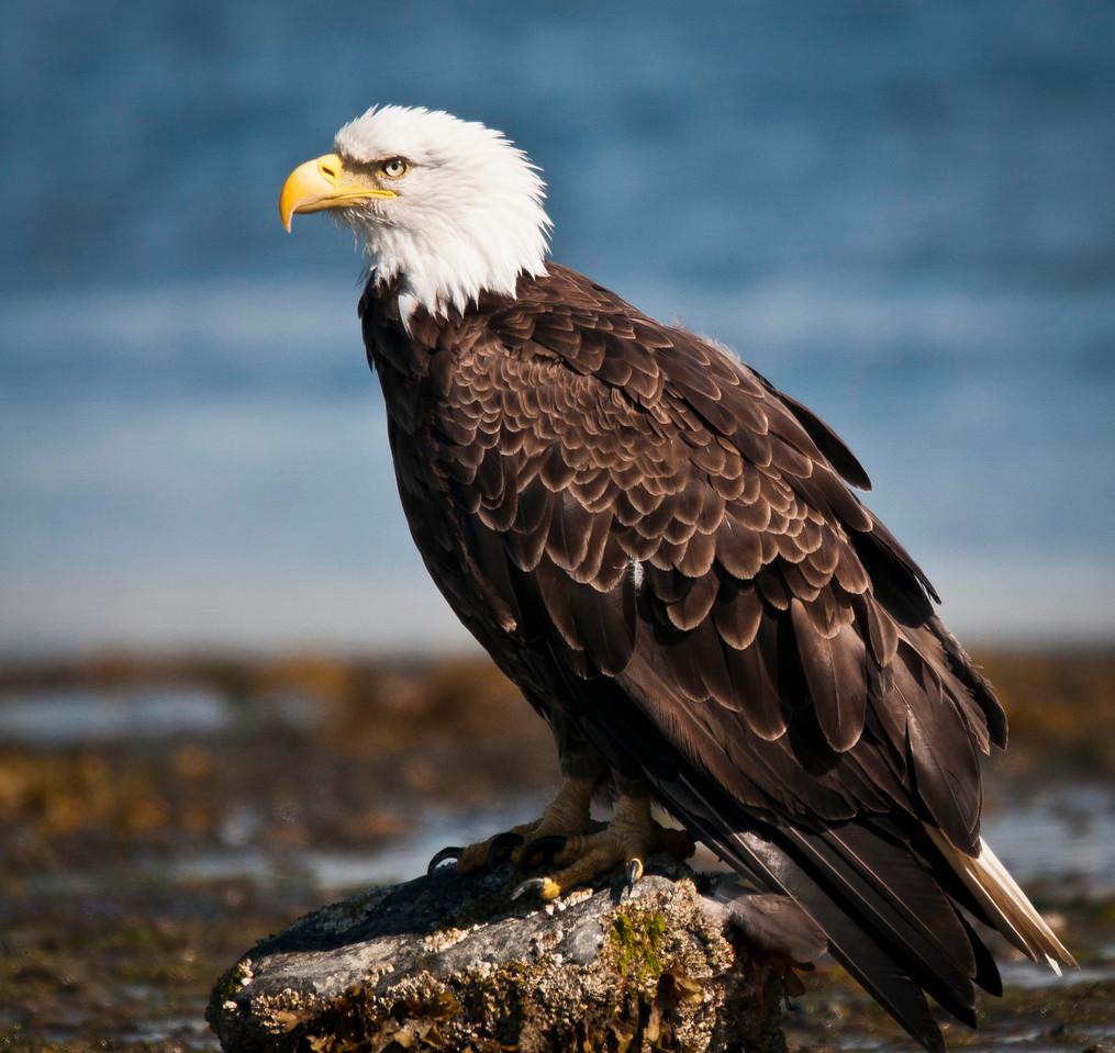 Adult Bald Eagle Kachemak Bay - Homer Spit Homer, Alaska © 2011