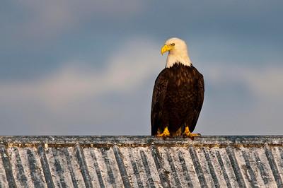 Bald Eagle On A Hot Tin Roof Homer Spit Homer, Alaska © 2010