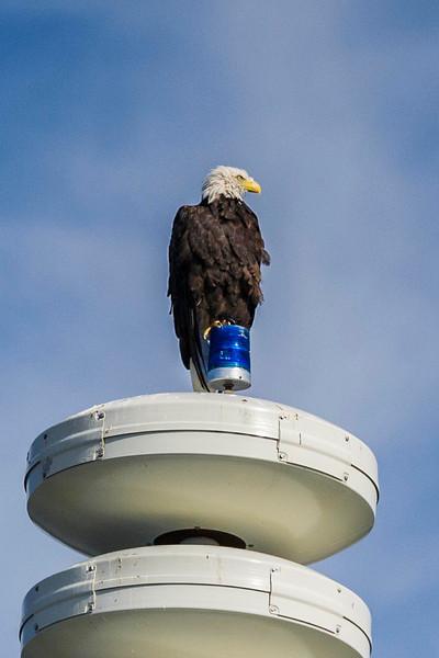 Home'r Land Security Bald Eagle Perched on Tsunami Warning Tower Homer, Alaska © 2013