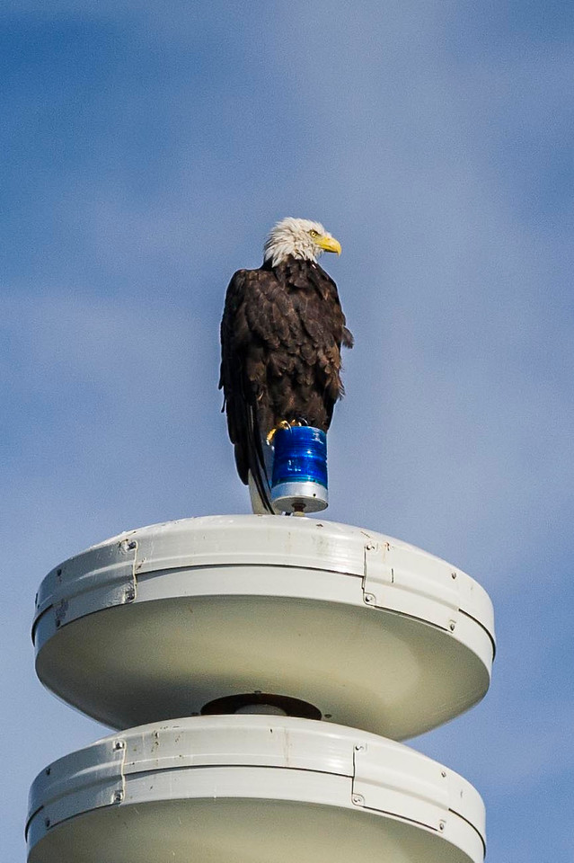 Home'r Land Security Bald Eagle Perched on Tsunami Warning Tower Homer, Alaska © 2013
