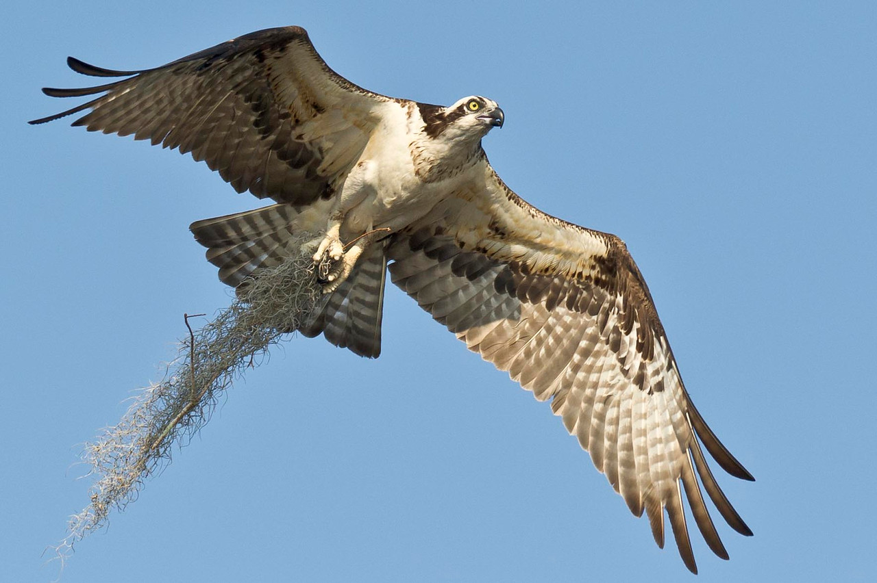 Osprey bringing in nesting materials Blue Cypress Lake Vero Beach, Florida © 2013