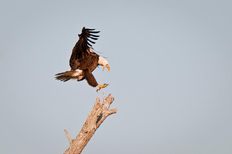 Bald Eagle landing Kings Highway Kissimmee, Florida © 2011