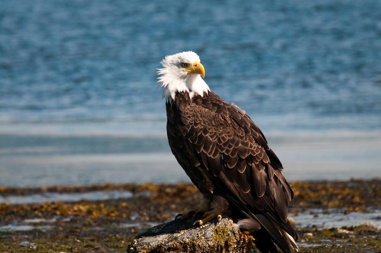 Bald Eagle Homer Spit, Alaska © 2010
